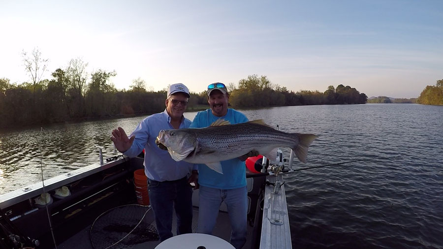 Striper archives nashville fishing charters for Tims ford lake fishing report
